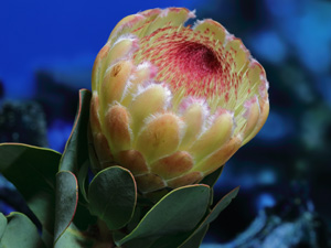proteas-lapalma-grandicolor00