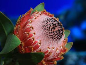 proteas-lapalma-magnifica00