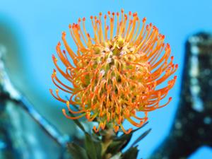 proteas-lapalma-Ayoba-sun01