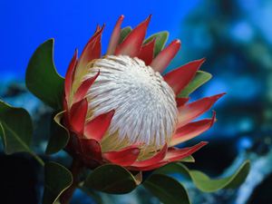 proteas-lapalma-madiba00