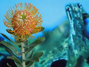 proteas-lapalma-soleil00