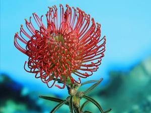 proteas-lapalma-susesion00