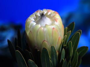 proteas-lapalma-whiteNight01